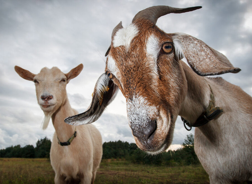GOATS are Everywhere Image